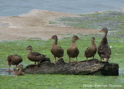 Sometimes Good is Good Enough - even if you can't get all your ducks in a row (Photo: Katelyn Thomas)